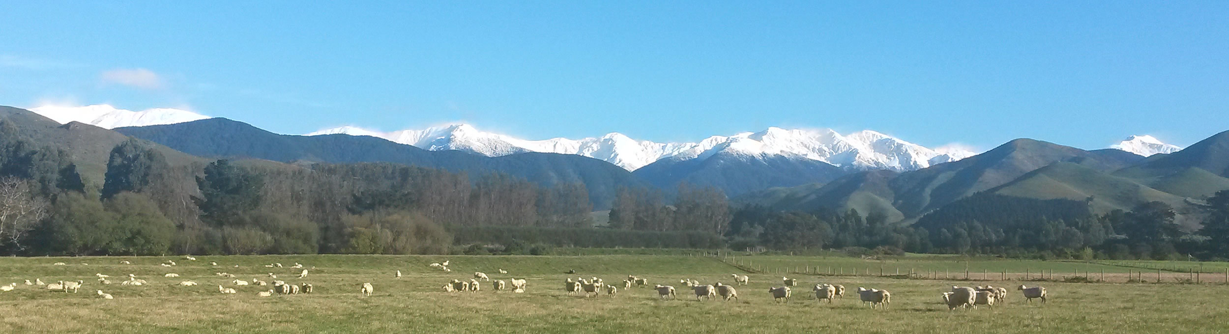 View of Tararua ranges and sheep on Talla sheep dairy farm