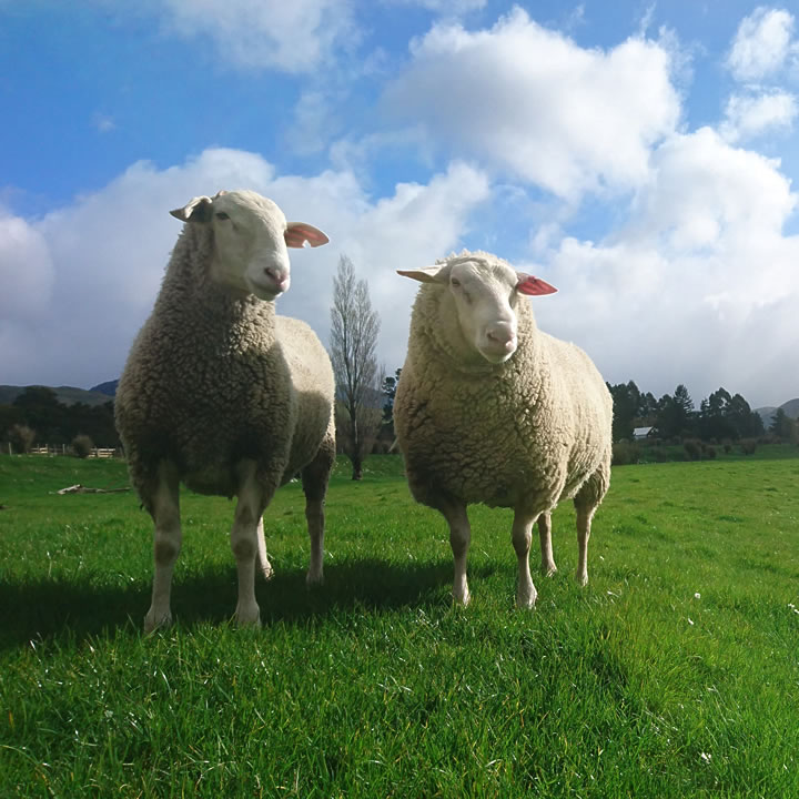 Two sheep dairy ewes